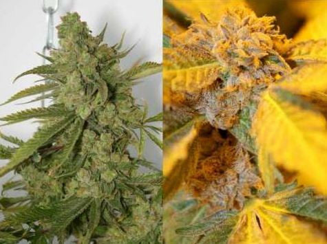 Purple Cheddar Female Cannabis Seeds