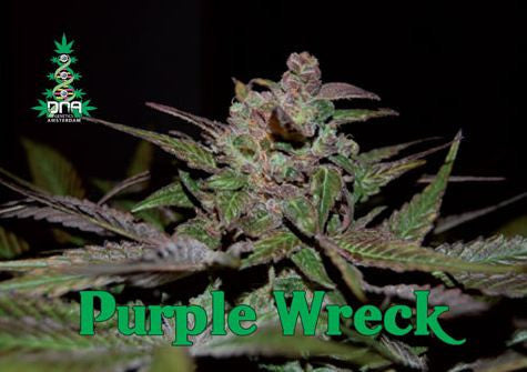Purple Wreck Female Cannabis Seeds