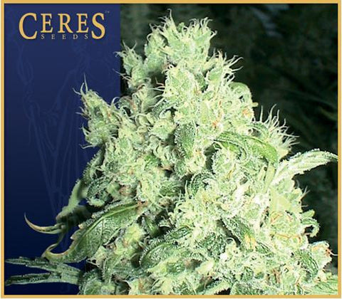 White Indica Female Cannabis Seeds
