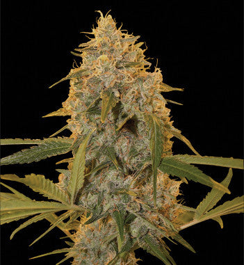 Chocolate Fondue female cannabis seeds
