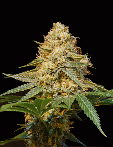 Silver/LA feminized cannabis seeds