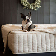 Cute Boston Terrier on bed