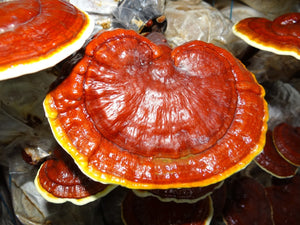 The Benefits Of Medicinal Mushrooms