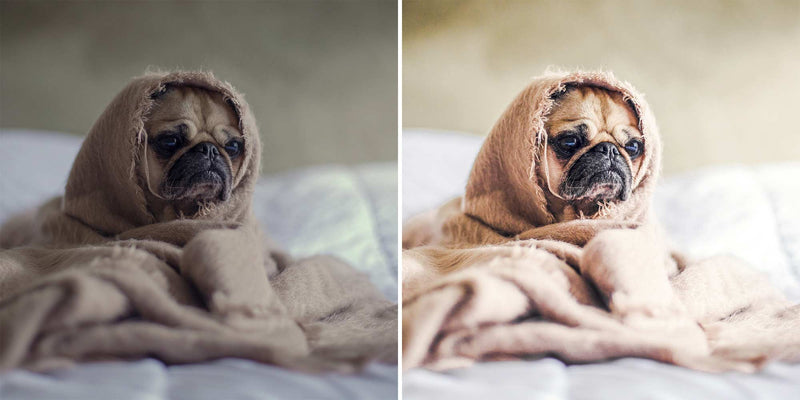 Preview Of Awesome Pugs - Lightroom Presets