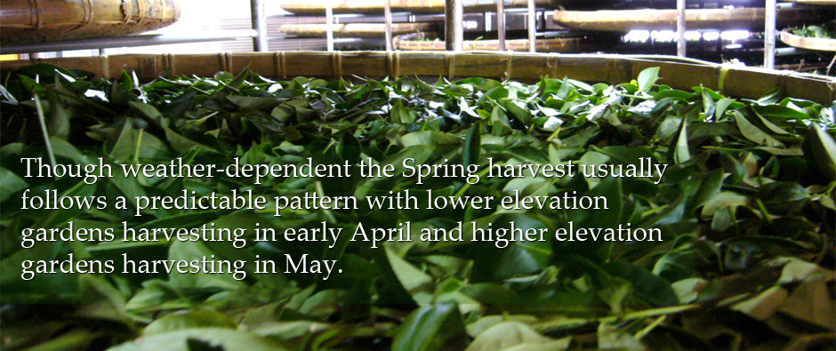 Though usually weather dependent the Spring Harvest usually follows a predictable pattern with lower elevation gardens harvesting in early April and higher elevation gardens harvesting in May.