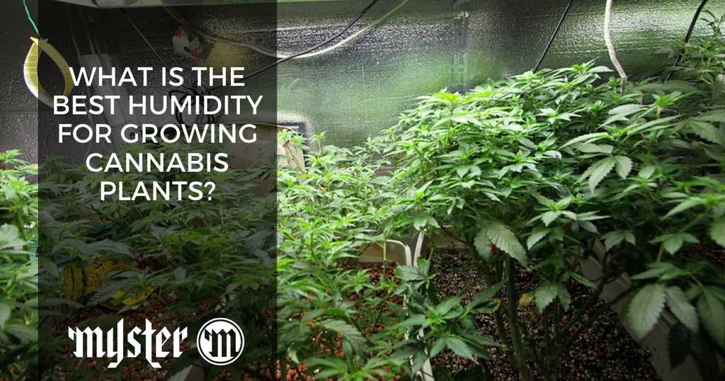 What Is The Best Humidity For Growing Cannabis Plants?