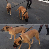 Tandem bungee leash for two large dogs