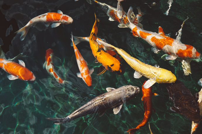 Koi, The Jewels of the Pond