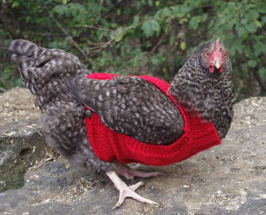 http://stitcheryprojects.com/2015/12/21/cabled-chicken-sweater/