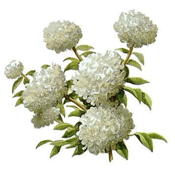 Hydrangeas come in white, green and pink.