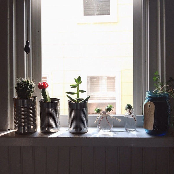 Grow cactus in recycled cans in a windowsill