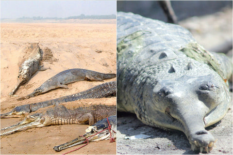 Chambal Gharial In Crisis - by Ajay and Vijay Bedi