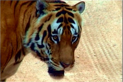 Tiger – The Death Chronicles - by Krishnendu Bose