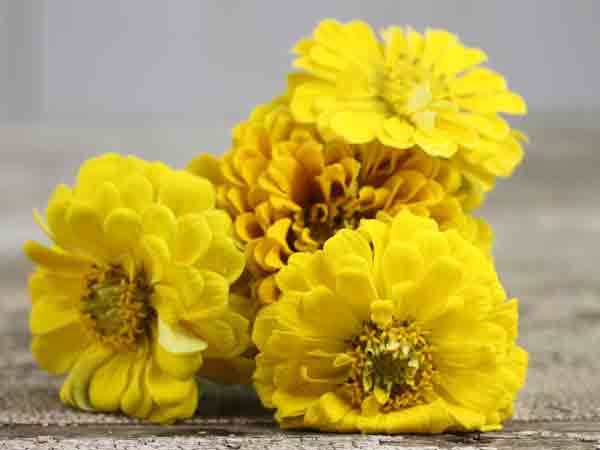 Canary Bird - Zinnia (100 seeds)