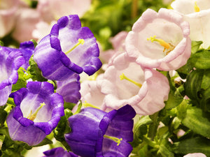 Canterbury Bells Mixed (500 seeds)