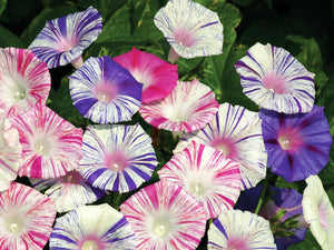 Carnevale Di Venezia - Morning Glory (35 seeds)