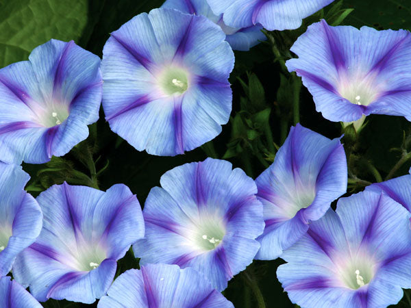 Dacapo Light Blue - Morning Glory (35 seeds)