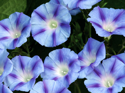 Image of Dacapo Light Blue - Morning Glory (35 seeds)