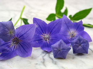 Blue Balloon Flower (200 seeds)
