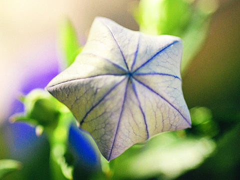 Image of Blue Balloon Flower (200 seeds)