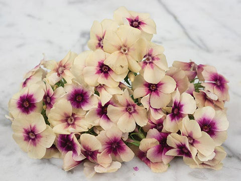 Cherry Caramel Phlox (100 seeds)