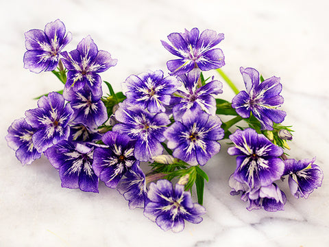 Image of Sugar Stars Phlox (200 seeds)
