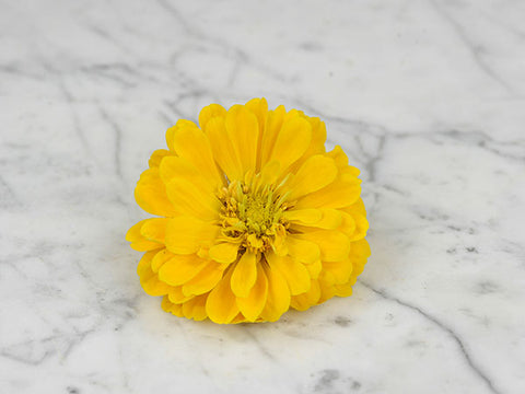 Image of Canary Bird - Zinnia (100 seeds)
