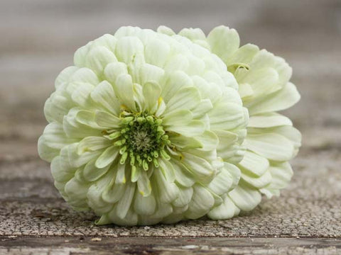 Image of Polar Bear - Zinnia (100 seeds)