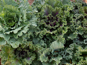 Ornamental Fringed Mix Kale (100 seeds)