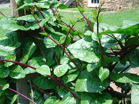 Red Malabar Spinach (35 seeds)