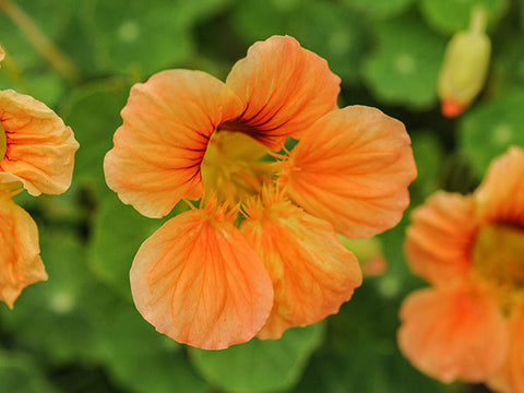 Nasturtium - Tip Top Alaska Salmon (25 seeds)