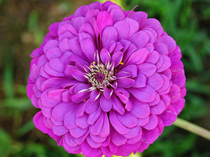 Purple Prince - Zinnia (100 seeds)