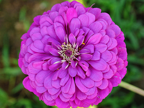 Image of Purple Prince - Zinnia (100 seeds)