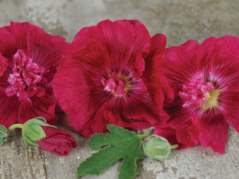 Double Carnival Rosy Red Hollyhock (35 seeds)