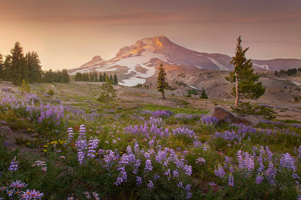 Mount Hood with Lupine at Timberline.