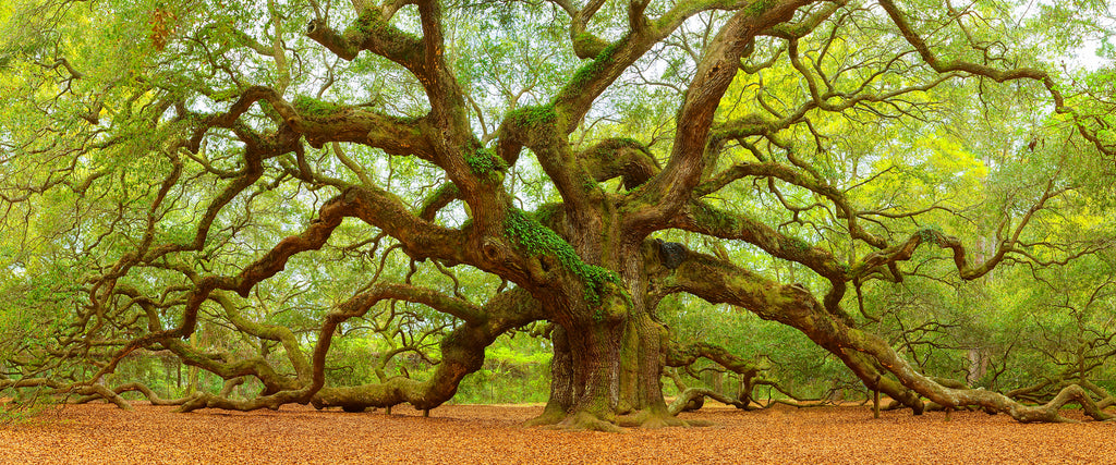Fine art photography of the Angel Oak Tree.
