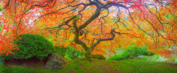 Japanese Maple in the Japanese Gardens in Portland. Limited Edition.
