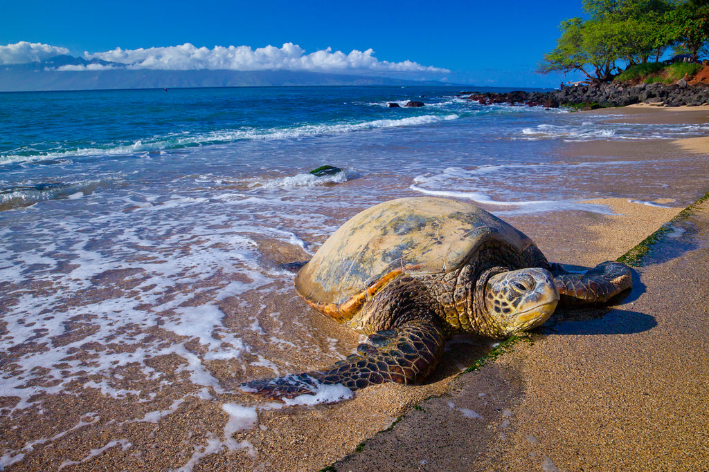 Photography of a large seaturtle asleep on a beach in Maui Hawaii.