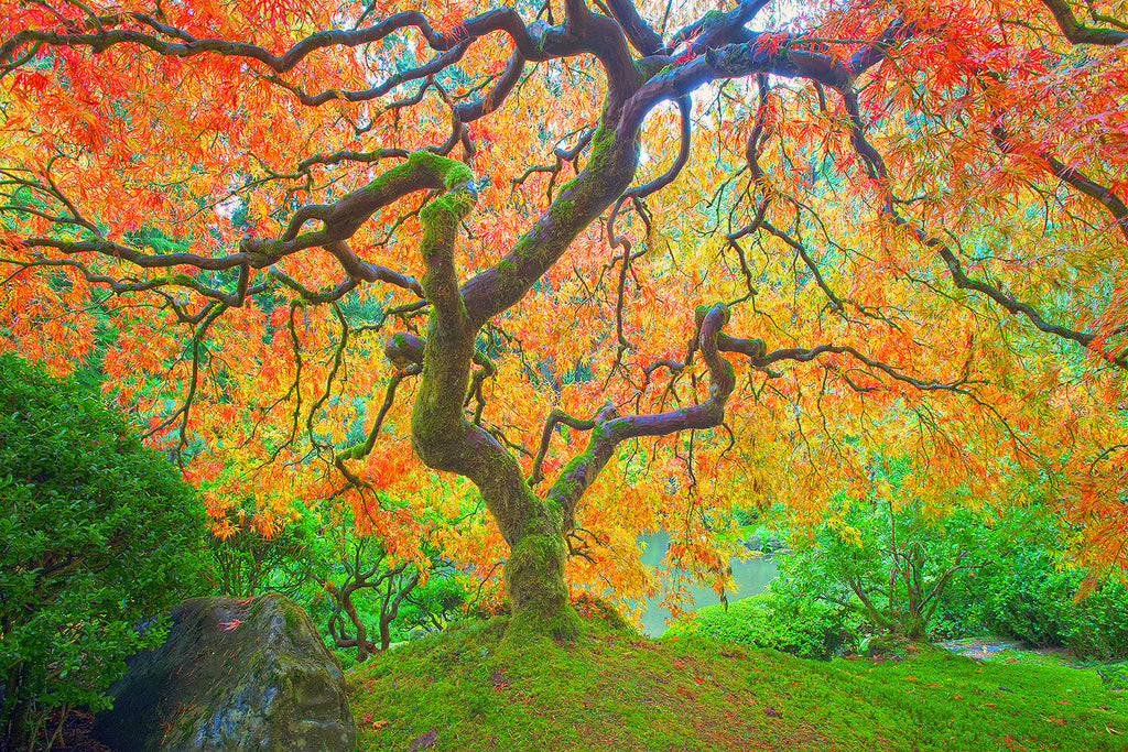 Autumn Japanese maple in the Japanese Gardens in Portland.