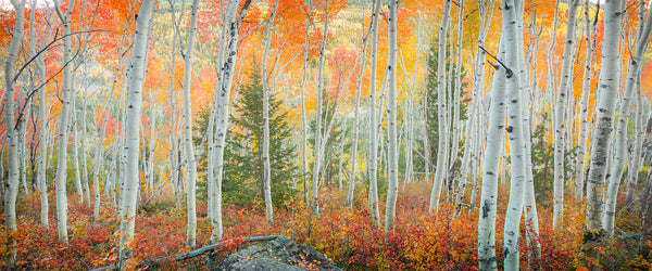 autumn aspen trees in park city utah. fine art photography by lijah hanley.