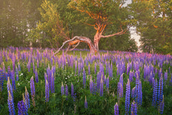 Lupine in Oak Trees in the summer in New Hampshire New England.