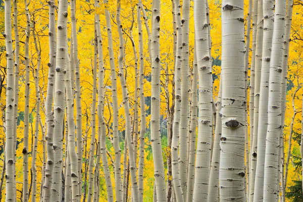Aspen trees in kelber pass colorado. By Lijah Hanley.