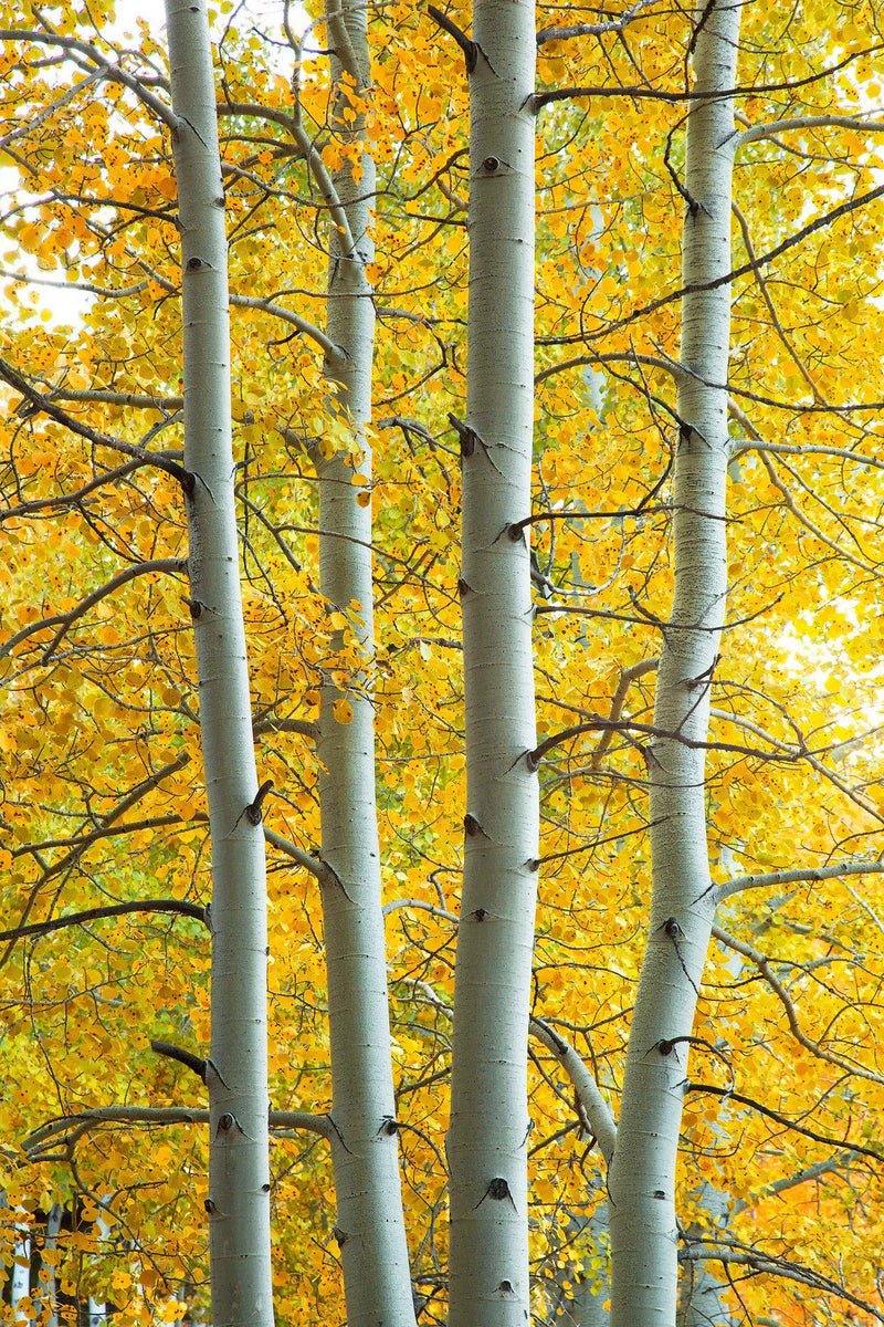 Four aspen trees during peak fall color. By Lijah Hanley