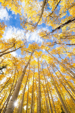 Golden aspens against blue skies. By Lijah Hanley.