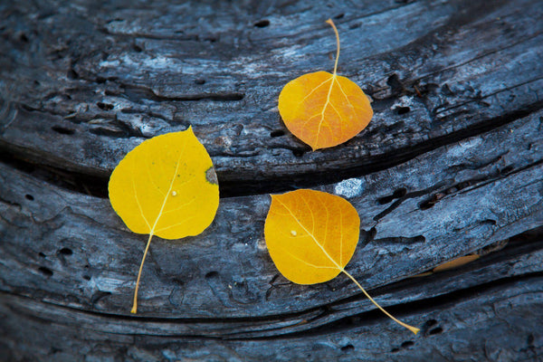 Three aspen leaves on a log in Eastern California. By Lijah Hanley.