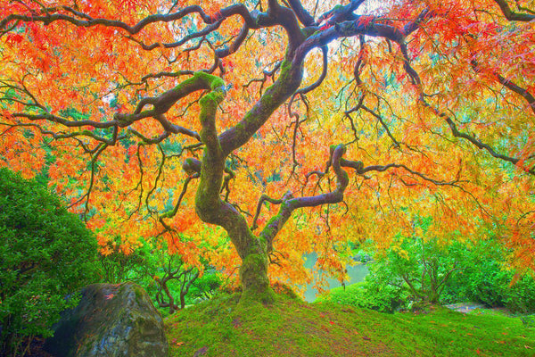 Fine art photography of a  Japanese Maple in fall in the Japanese Gardens in Portland, Oregon.