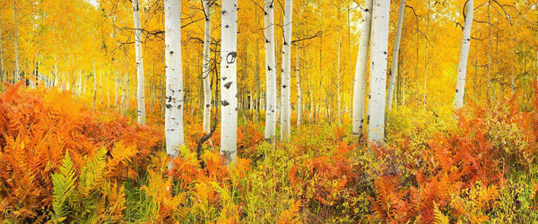 Rusty ferns and golden aspen trees at peak fall color in Kebler Pass, Colorado