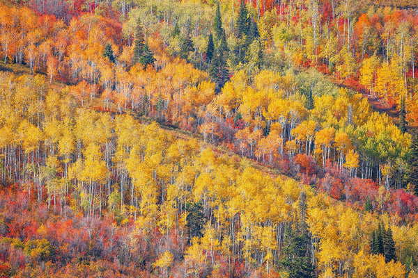 Fine art photograph of aspen trees in Park City, Utah.