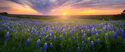 Photograph of a field of bluebonnets in Ennis Texas.