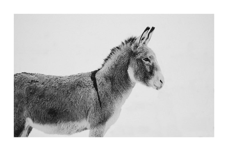 Fine art photograph of a donkey in the snow by Lijah Hanley.